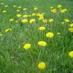 dandelions and clovers
