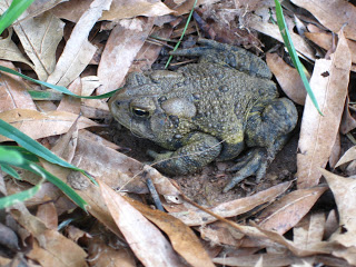 frog or toad? it's an eastern toad! ( we think…)
