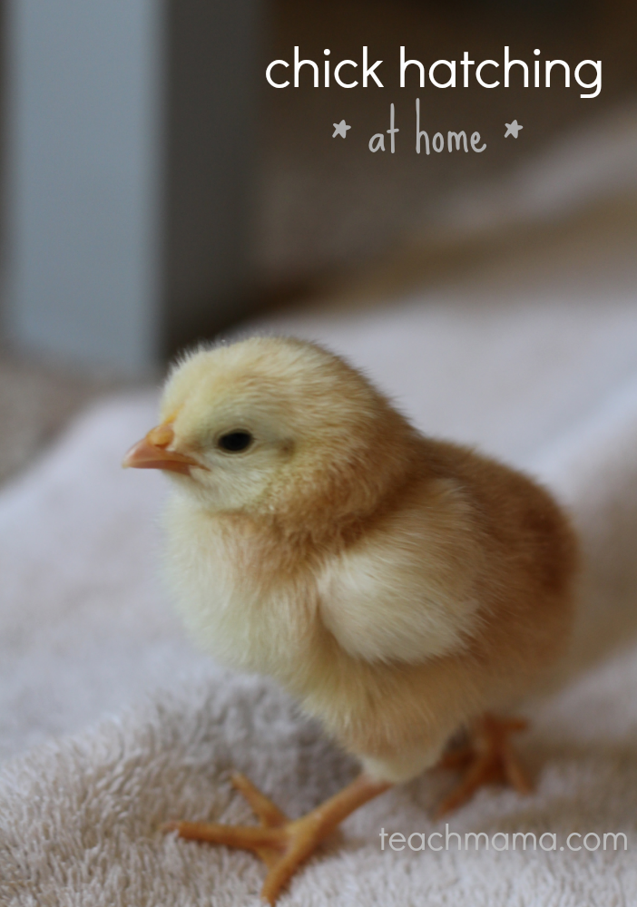 chick hatching at home teachmama.com cover .png