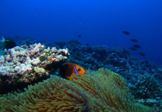 Clown-fish-and-coral-reef-in-Moorea-French-Polynesia-c-Jean-Philippe-Palasi_resized