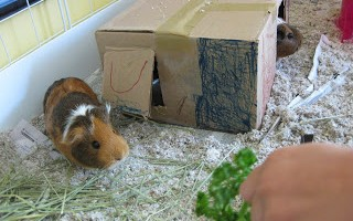 new for us friday–guinea pigs