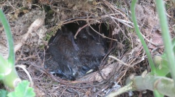 backyard science: our very own baby house wrens