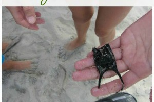 beach learning: hermit crabs, horseshoe crabs, ghost crabs, sand crabs & more