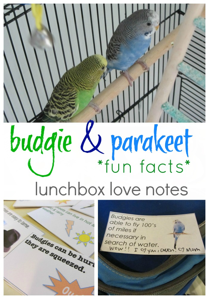 budgie lunchbox love notes