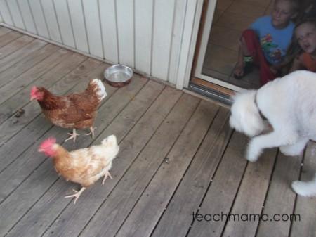 backyard chickens sept
