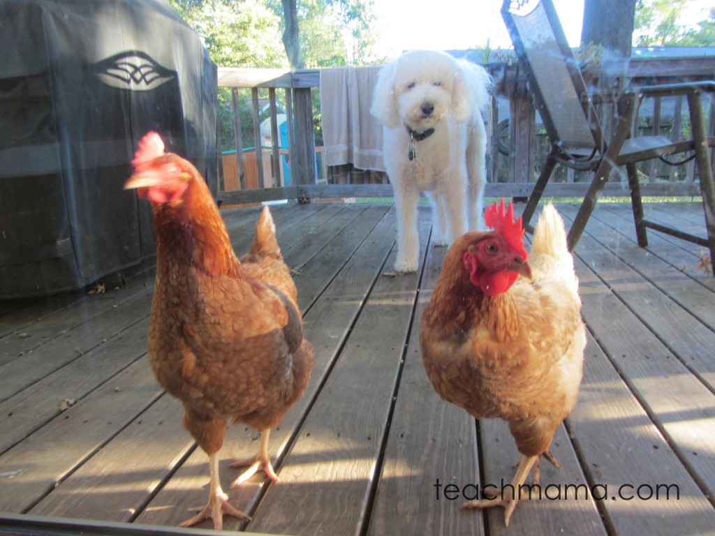 backyard chickens for family fun and learning