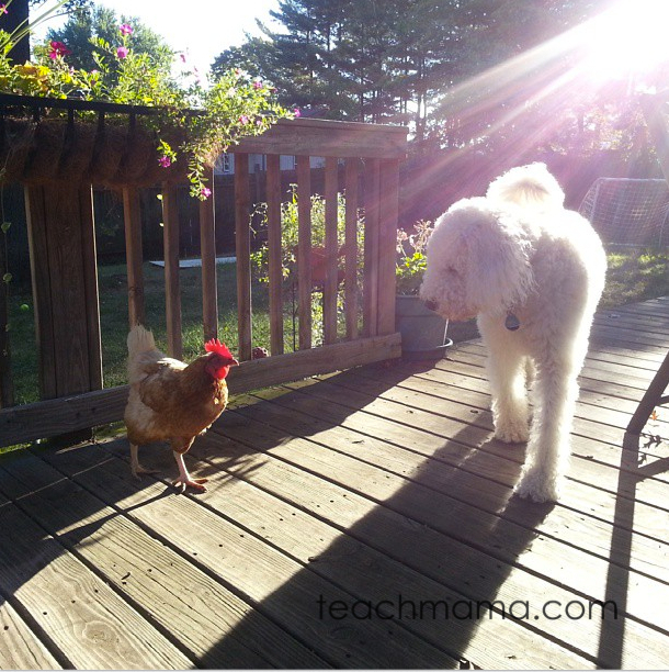 backyard chickens for families teachmama.com
