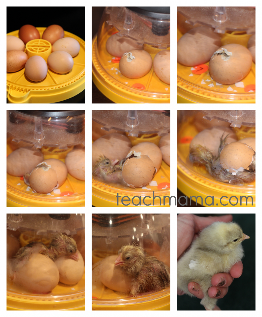 chick hatching from egg in a 9 photos